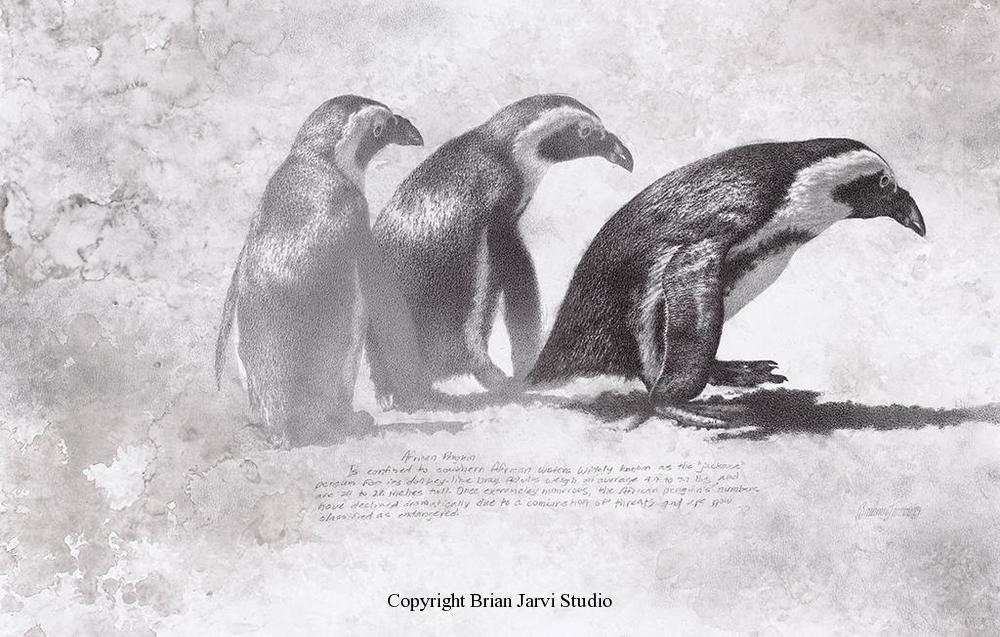 "African Penguin-Study Original Pencil 14"" x 21"" <B><font size=""2"" color=""red""><br>This Original is available.<br>Please call Brian at 218-259-1333 for pricing information.</font></B> - Brian Jarvi Studios Studies for African Menagerie Paintings Brian Jarvi Originals"