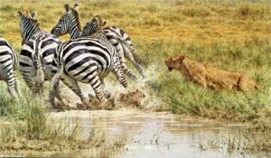 Ambush - Zebra and Lioness - Brian Jarvi Studios Brian Jarvi Biography African Wildlife Artist Biography