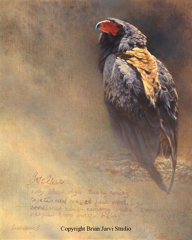 "Bateleur Eagle Study <br> 16""x20"" Original Oil <B><font size=""2"" color=""red""><br>This Original is available.<br>Please call Brian at (218) 326-1308 for pricing information.</font></B> - Brian Jarvi Studios Studies for African Menagerie Paintings Brian Jarvi Originals"