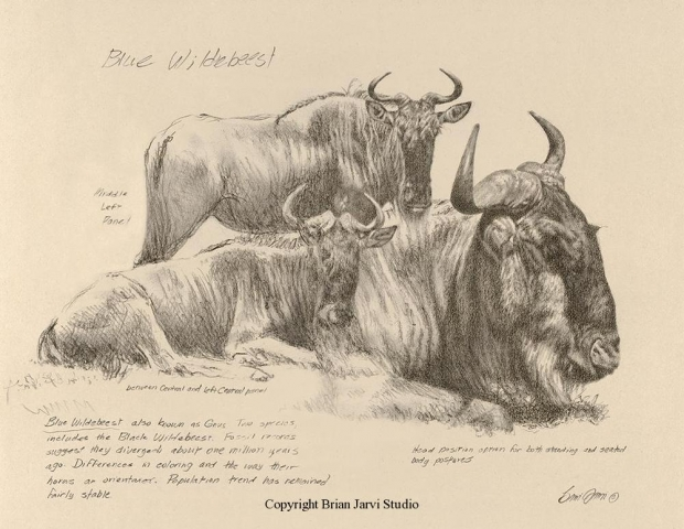 "Blue Wildebeest Study <br>19""x 24"" Original Charcoal <B><font size=""2"" color=""red""><br>This Original is available.<br>Please call Brian at 218-259-1333 for pricing information.</font></B> - Brian Jarvi Studios Studies for African Menagerie Paintings Brian Jarvi Originals"