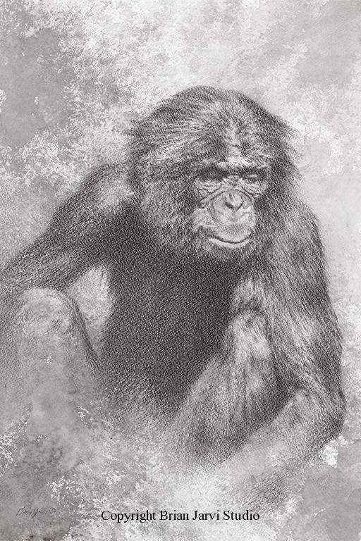"Bonobo Charcoal<br>Original Charcoal 12""x 18"" - Sold <B><font size=""2"" color=""red""><br>This Original has been sold and is in a private collection</font></B> - Brian Jarvi Studios Studies for African Menagerie Paintings Brian Jarvi Originals"