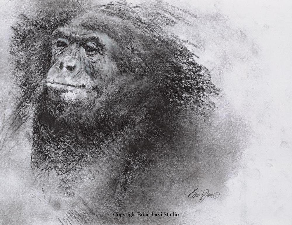"Bonobo Quick Study<br> 9""x11"" Original Charcoal - Sold <B><font size=""2"" color=""red""><br>This Original has been sold and is in a private collection</font></B> - Brian Jarvi Studios Studies for African Menagerie Paintings Brian Jarvi Originals"