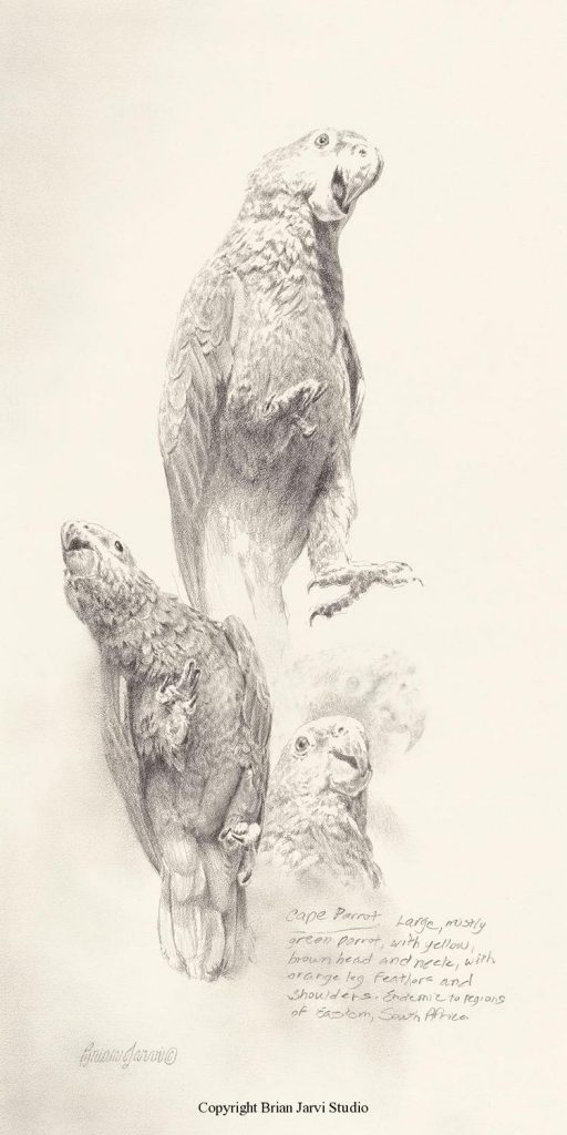 """Cape Parrot Study <br> 9""""x 18"""" Original Pencil - Sold <B><font size=""""2"""" color=""""red""""><br>This Original has been sold and is in a private collection</font></B> - Brian Jarvi Studios Studies for African Menagerie Paintings Brian Jarvi Originals"""