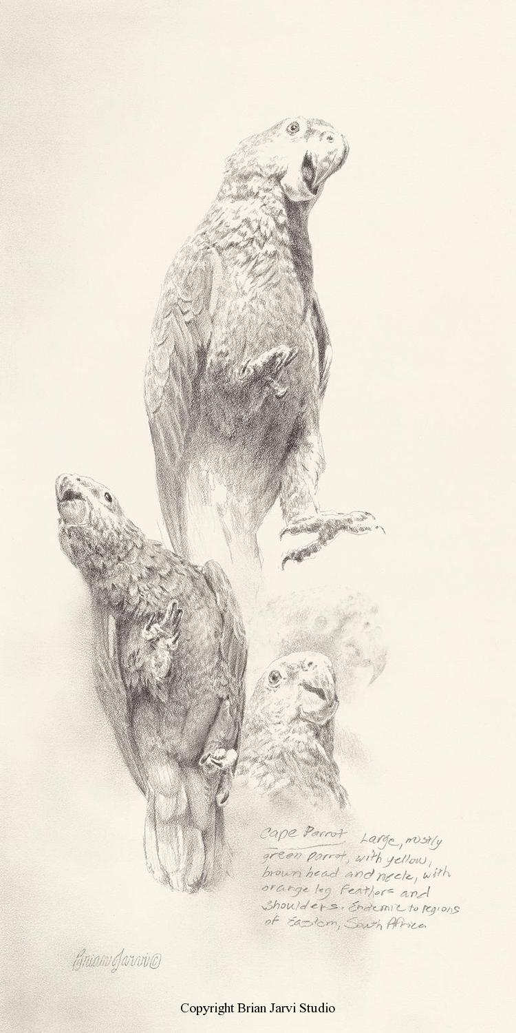 "Cape Parrot Study <br> 9""x 18"" Original Pencil - Sold <B><font size=""2"" color=""red""><br>This Original has been sold and is in a private collection</font></B> - Brian Jarvi Studios Studies for African Menagerie Paintings Brian Jarvi Originals"