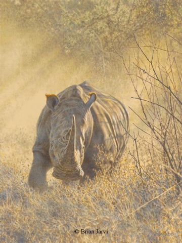 "Drawing a Bead - African Rhino <br>Original Oil 16"" x 22"" <br>Dallas Safari Club Auction 1-15-15 <B><font size=""2"" color=""red""><br>This Original has been sold and is in a private collection</font></B> - Brian Jarvi Studios African Wildlife Original Art Brian Jarvi Artwork"