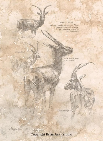 "Grants Gazelle <br>13""x18"" Original Pencil - Sold <B><font size=""2"" color=""red""><br>This Original has been sold and is in a private collection</font></B> - Brian Jarvi Studios Studies for African Menagerie Paintings Brian Jarvi Originals"