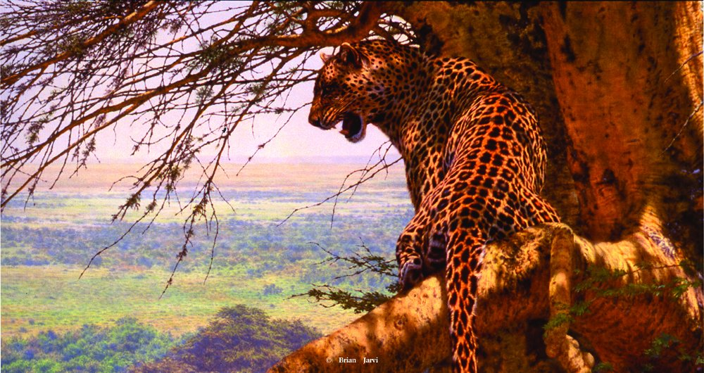 "Highlander - Big Five Leopard - Brian Jarvi Studios Brian Jarvi Art African Wildlife ""Big Five"""