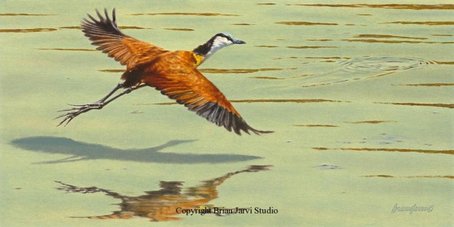 "Jacana Study 12"" x 24"" - Sold <B><font size=""2"" color=""red""><br>This Original has been sold and is in a private collection</font></B> - Brian Jarvi Studios Studies for African Menagerie Paintings Brian Jarvi Originals"