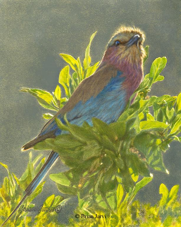 """Lilac Breasted Roller <br> Original Oil 10"""" x 8"""" <B><font size=""""2"""" color=""""red""""><br>This Original has been sold and is in a private collection</font></B> - Brian Jarvi Studios African Wildlife Original Art Brian Jarvi Artwork"""
