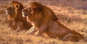 Lords of the Plains - African Male Lions - Brian Jarvi Studios Brian Jarvi Artwork Limited Edition Prints