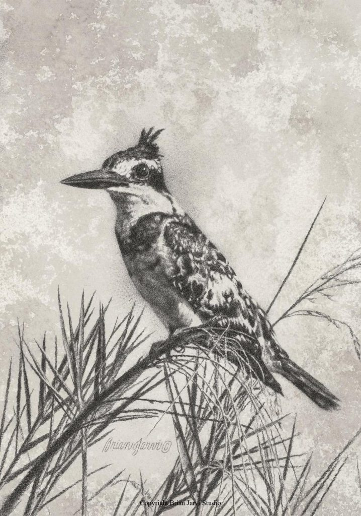 """Pied Kingfisher Study 8.5"""" x 12"""" <B><font size=""""2"""" color=""""red""""><br>This Original is available.<br>Please call Brian at (218) 326-1308 for pricing information.</font></B> - Brian Jarvi Studios Studies for African Menagerie Paintings Brian Jarvi Originals"""