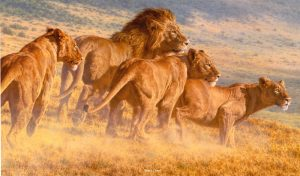 Return of the Wildebeest - African Lions - Brian Jarvi Studios Brian Jarvi Artwork Limited Edition Prints