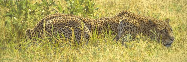 Stealth - African Lioness - Brian Jarvi Studios Brian Jarvi Artwork Limited Edition Prints
