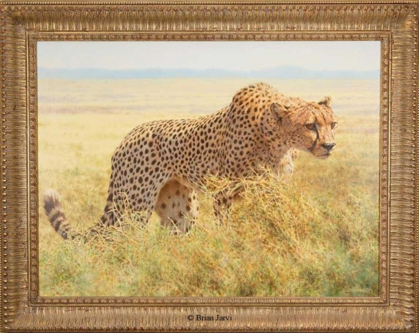 "The Cheetah <br> Original Oil 40"" x 40"" <B><font size=""2"" color=""red""><br>This Original has been sold and is in a private collection</font></B> - Brian Jarvi Studios African Wildlife Original Art Brian Jarvi Artwork"