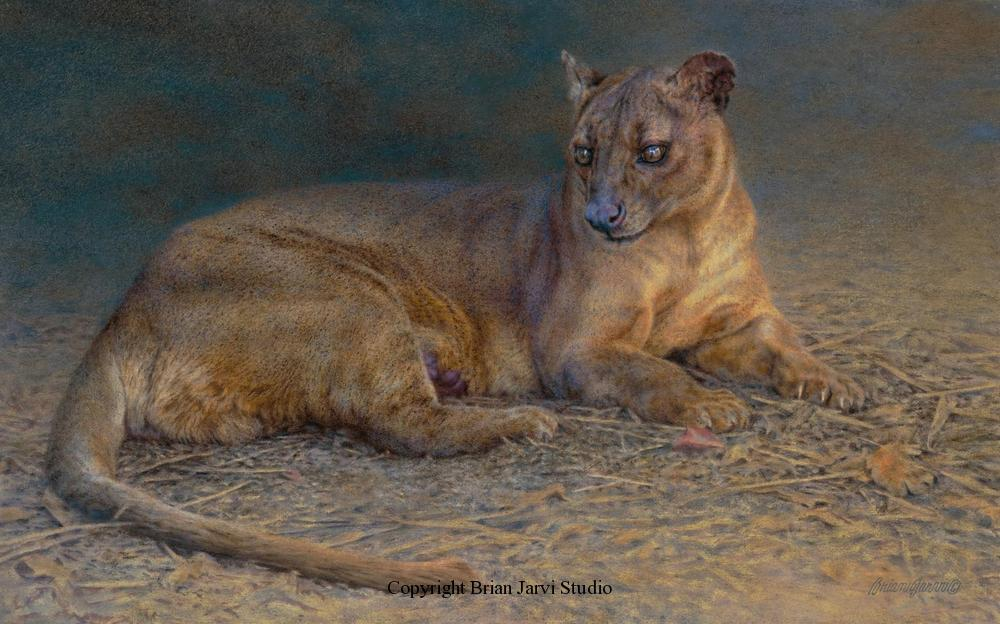 "The Fossa Study 15X"" x 24 <B><font size=""2"" color=""red""><br>This Original is available.<br>Please call Brian at (218) 326-1308 for pricing information.</font></B> - Brian Jarvi Studios Studies for African Menagerie Paintings Brian Jarvi Originals"