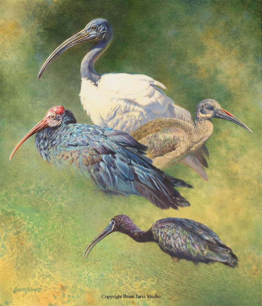 """The Ibis Studies 18"""" x 21"""" <B><font size=""""2"""" color=""""red""""><br>This Original is available.<br>Please call Brian at (218) 326-1308 for pricing information.</font></B> - Brian Jarvi Studios Studies for African Menagerie Paintings Brian Jarvi Originals"""