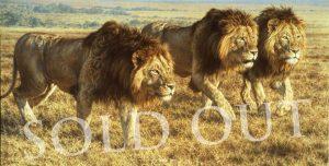 Tour De Force - African Lions - Brian Jarvi Studios Brian Jarvi Artwork Limited Edition Prints