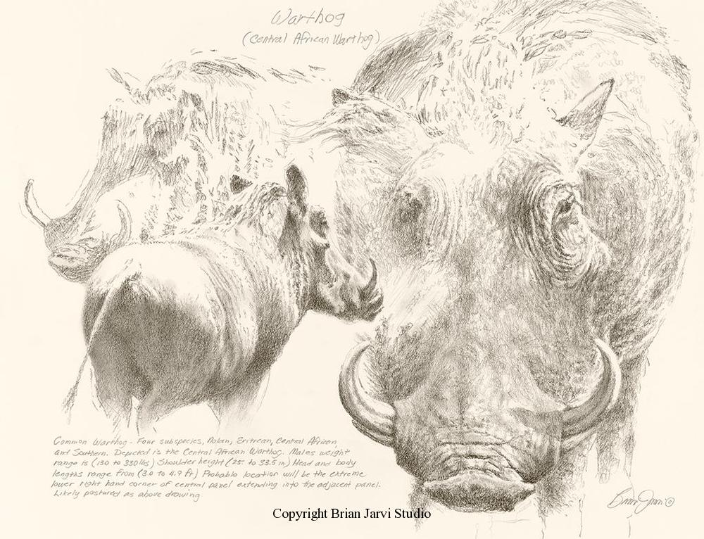 "Warthog Study <br> 18""x 23"" Original Pencil - Sold <B><font size=""2"" color=""red""><br>This Original has been sold and is in a private collection</font></B> - Brian Jarvi Studios Studies for African Menagerie Paintings Brian Jarvi Originals"